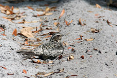 Common Nighthawk (Chordeiles minor). A common nighthawk (Chordeiles minor) rests on a trail near Orlando, FL. These birds are summer residents in the area royalty free stock image