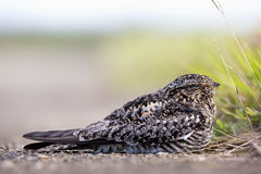Common Nighthawk (Chordeiles minor) Stock Images