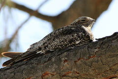 Common Nighthawk - Chordeiles minor Royalty Free Stock Images
