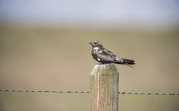Common Nighthawk (Chordeiles minor) Perched on a Post Stock Images