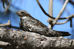 Common Nighthawk Perched on a Branch Stock Image