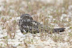 Common Nighthawk Perched on Ground - Texas Royalty Free Stock Photos