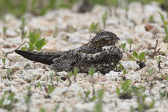 Common Nighthawk Perched on Ground - Texas Royalty Free Stock Photo