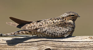 Common Nighthawk Resting. A Common Nighthawk, a nocturnal bird, resting during the day on a fencepost in Colorado Stock Photos