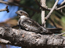 Common Nighthawk in Sunlight Royalty Free Stock Photos