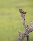 Common nighthawk Stock Photo