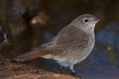 Common Nightingale  drinking on the banks of a river Royalty Free Stock Photography