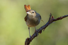Common Nightingale,(Luscinia megarhynchos) Stock Photography