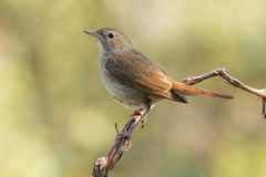 Common Nightingale, ( Luscinia megarhynchos ) Royalty Free Stock Images