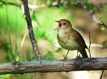 Singing nightingale bird on tree