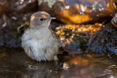 Common Nightingale  with a swim Royalty Free Stock Photography