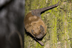 Common Noctule (Nyctalus noctula) royalty free stock photo