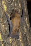 Common Noctule (Nyctalus noctula). An European bat is climbing on a tree stock photo