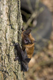 Common Noctule (Nyctalus noctula). A common noctule in an oak tree royalty free stock image