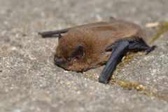 Common Noctule Nyctalus noctula. An European bat is climbing on a stone stock photo