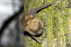 Bat on tree Stock Images