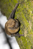 Bat on tree. Common noctule (Nyctalus noctula) on a tree stock photo