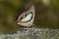 Common nombrado mariposa Nawab foto de archivo