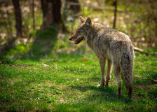 Common North American Coyote From Back Royalty Free Stock Photography