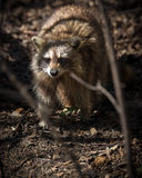 Common North American Raccoon Stock Photos