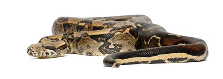 Common Northern Boa, Boa constrictor imperator. Imperator is the color, against white background Royalty Free Stock Images