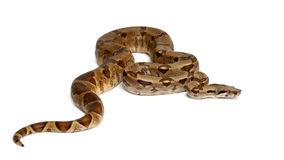 Common Northern Boa, Boa constrictor imperator. Against white background Royalty Free Stock Photo