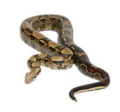 Common Northern Boa, Boa constrictor imperator. Imperator is the color, against white background Stock Photos
