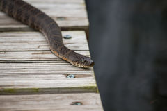 A common northern water snake rests on a pier by a lake. A common northern water snake rests on a wooden pier by a lake stock photos