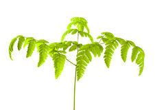 Common Oak Fern Royalty Free Stock Photos