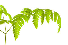 Common Oak Fern Stock Photo