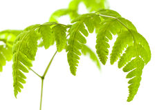 Common Oak Fern Royalty Free Stock Images