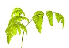 Common Oak Fern. On a white background Stock Photo
