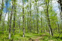 Common Oak Forest. In sunny day Stock Photography