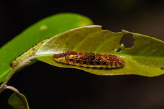Common Oakblue Arhopala pseudocentaurus caterpillar Stock Photo