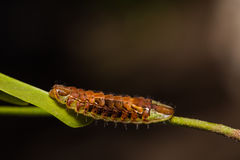 Common Oakblue Arhopala pseudocentaurus caterpillar Stock Image