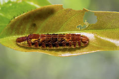 Common Oakblue Arhopala pseudocentaurus caterpillar Royalty Free Stock Photos