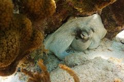 Common octopus. A common caribbean octopus hiding under a coral royalty free stock images