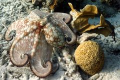 Common octopus. A common caribbean octopus posing in front of the camera stock images