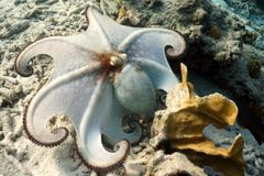 Common octopus. A common caribbean octopus posing in front of the camera stock photography