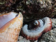Common octopus with conch shell Royalty Free Stock Images