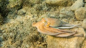 Common Octopus, Mediterranean Sea. Octopus swimming in shallow waters, Mediterranean Sea Stock Images