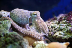 Common octopus resting on a reef Royalty Free Stock Photo