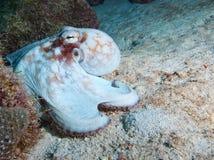 Common octopus trying to blend into the background under Salt Pier, Bonaire, Dutch Antilles Stock Images