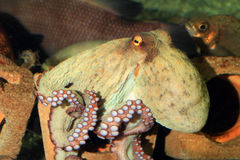Common octopus Royalty Free Stock Image