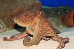 Common octopus. (Octopus vulgaris) in Japan Stock Photo