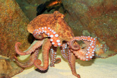 Common octopus Royalty Free Stock Photos