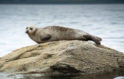 Common oder Seehund, die auf Felsen sich aalen lizenzfreie stockbilder