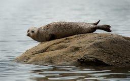 Common oder Seehund, die auf Felsen sich aalen lizenzfreies stockfoto