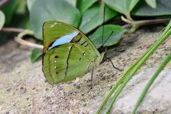 Common Olive Wing butterfly Stock Image