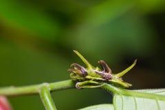 Common Onyx caterpillar Stock Photos